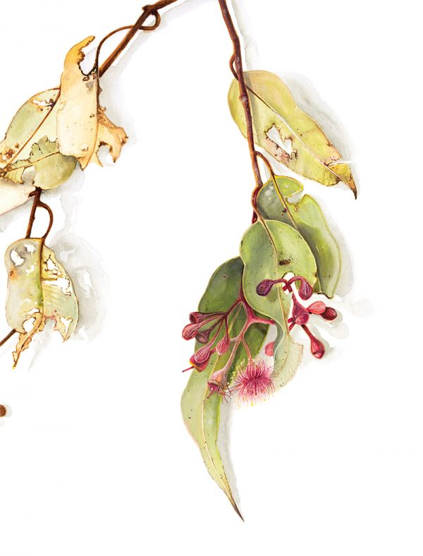 Watercolour painting of eucalyptus leaves and blossoms by artist Tina Wilson