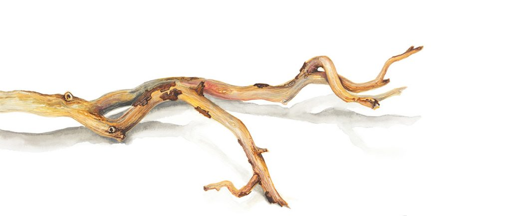 Watercolour illustration of a twisted branch by artist Tina Wilson