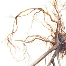 Watercolour illustration of uprooted lantana bush by artist Tina Wilson